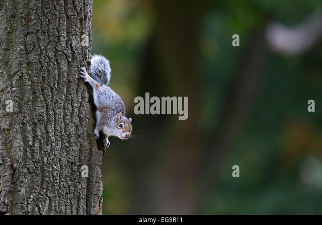 Baby Grey squirrel in tree. Richmond Park, London - Stock Image