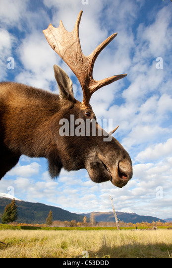 A low-angle photo of a bull moose's head and neck taken, Alaska Wildlife Conservation Center, Alaska, Autumn. - Stock Image