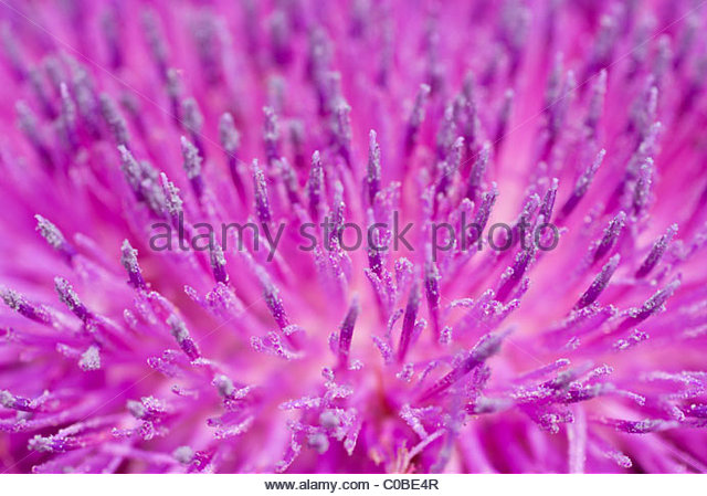 Close up of a thistle flower head. - Stock Image