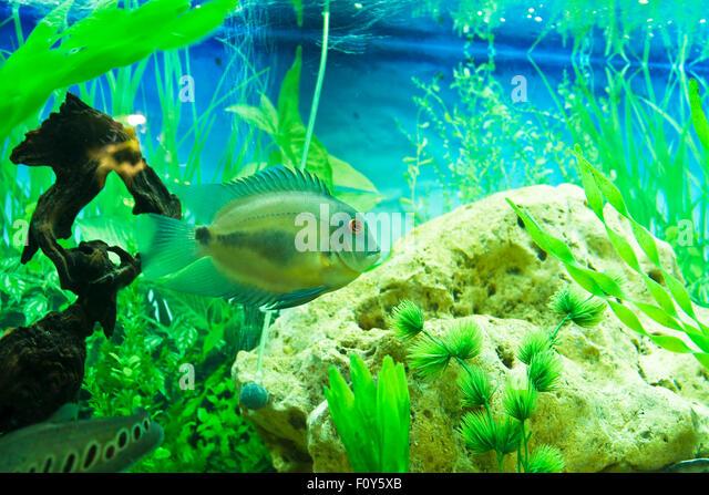 Cichlidae stock photos cichlidae stock images alamy for Amazon aquarium fish