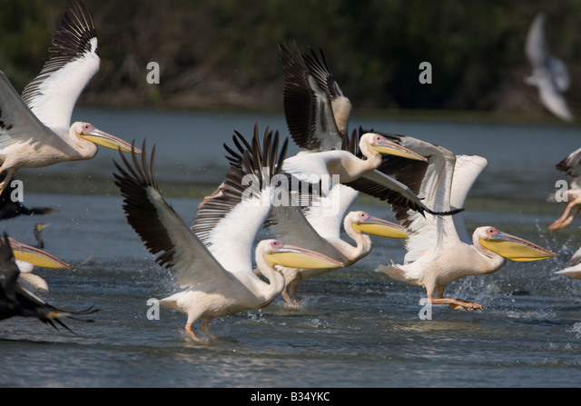 White Pelican Pelecanus onocrotalus flying - Stock Image