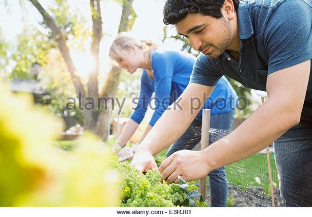 Couple tending to plants in vegetable garden - Stock Image