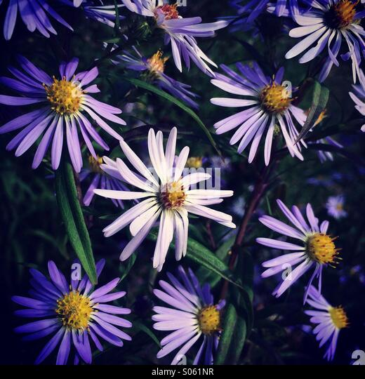 Purple aster flowers, Deception Pass State Park, Washington - Stock Image