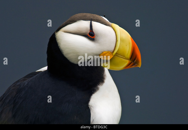 Horned Puffin in breeding plumage perched on a moss-coverd rocky outcropping on St. George Island, Southwest Alaska - Stock Image