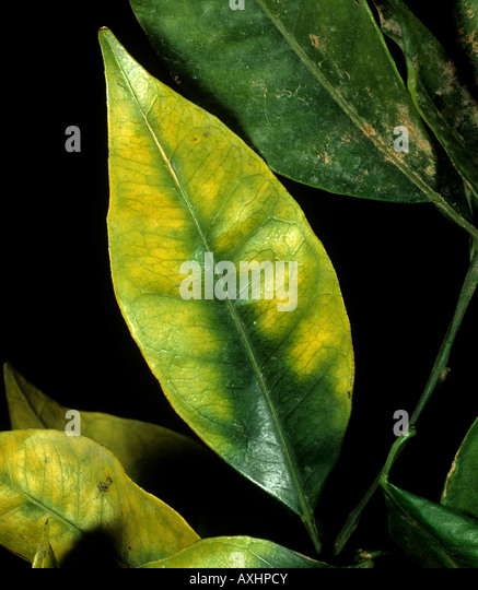 Chlorosis to an orange leaf caused by magnesium deficiency in the tree - Stock Image