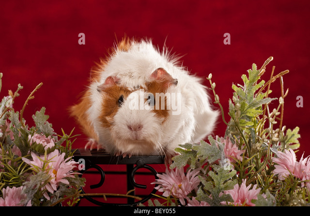 sitting guinea pig in pink flowers / red backround - Stock Image