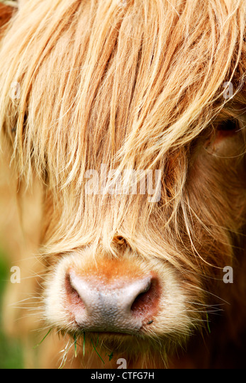 Vertical close up of highland cow head with hair over face - Stock Image