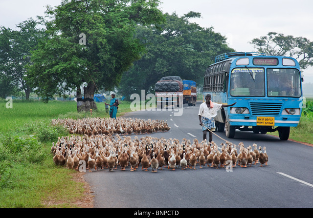 Duck farming is a common sight in India - Stock-Bilder