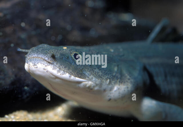 Weeksii Bichir, Polypterus weeksii. Head detail. Aquarium. Portugal. - Stock-Bilder