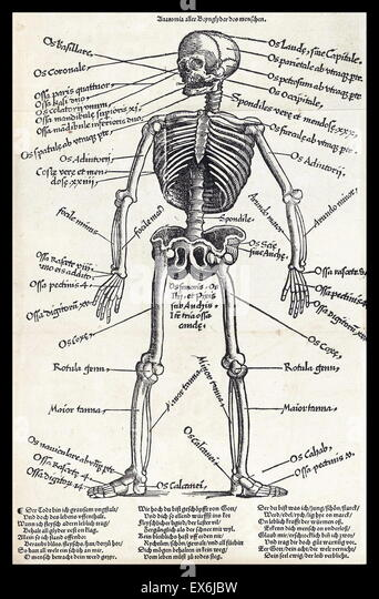 Anatomical illustrations from 'Feldbuch der Wundarzney (Field book of surgery' 1517. The book was authored - Stock Image
