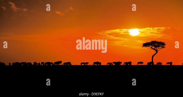 Wildebeest herd at sunrise, Wildebeest Migration, Masai Mara, Kenya - Stock-Bilder