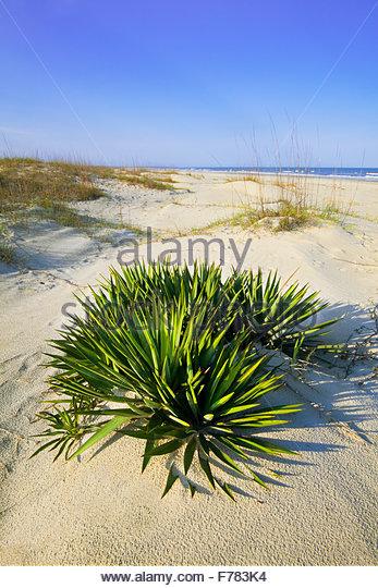 'Spanish dagger' [Yucca gloriosa] in 'sand dunes' on 'Cumberland Island'  [Cumberland Island - Stock Image