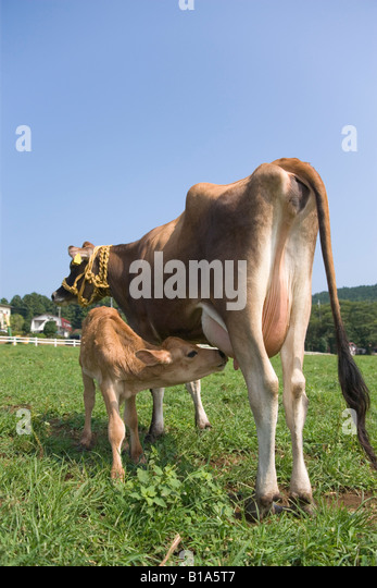 Mother cow feeding calf - Stock Image