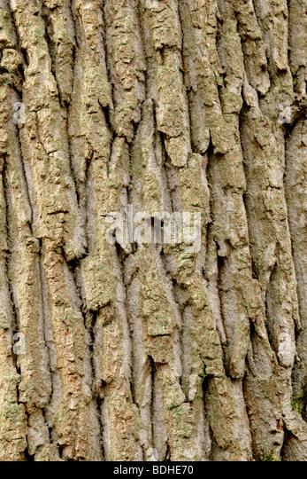 English Oak tree bark (Quercus robur) close up, England, UK - Stock-Bilder