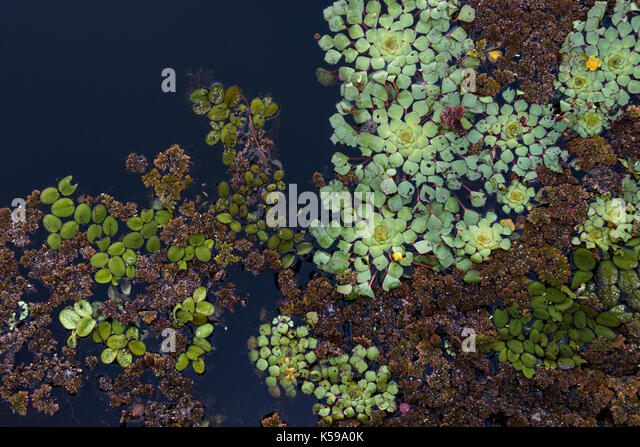 Varied floating vegetation at Rio Negro, South Pantanal, Brazil - Stock Image