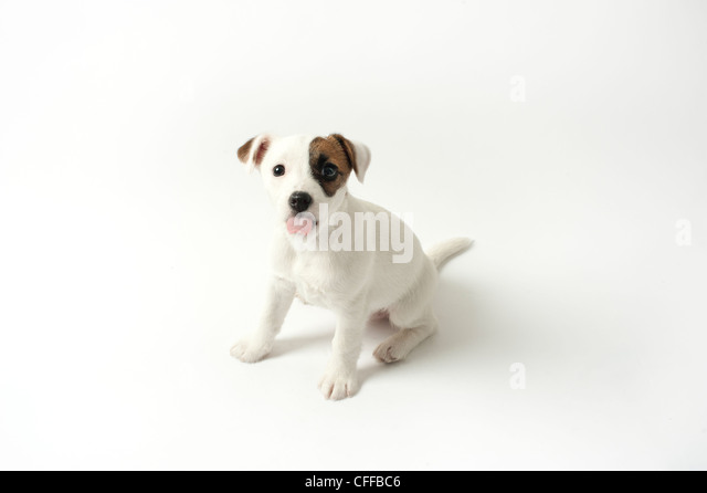 puppy sticking its tongue out - Stock Image