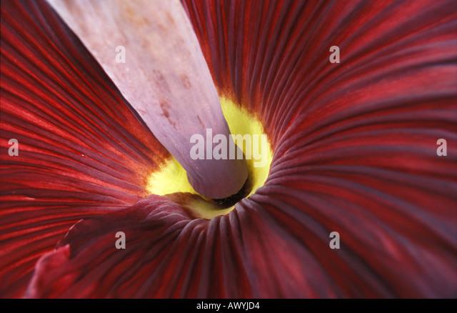 Inside the gigantic rotten meat smelling flower of the Titan arum Amorphophallus titanum endemic to Sumatra Indonesia - Stock Image