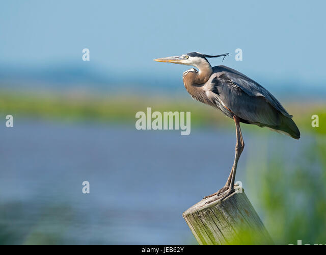 Great Blue Heron Standing on Piling - Stock Image