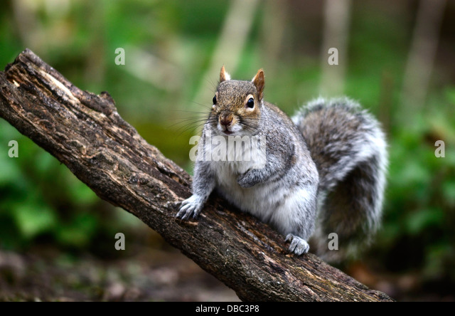 A grey squirrel in a tree UK - Stock Image