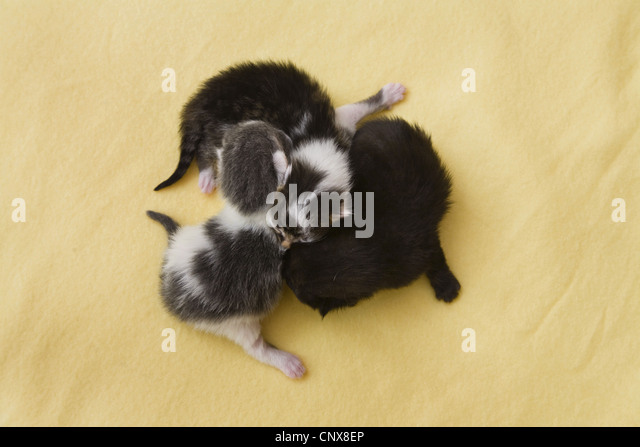domestic cat, house cat (Felis silvestris f. catus), three newborn domestic cats cuddling - Stock Image