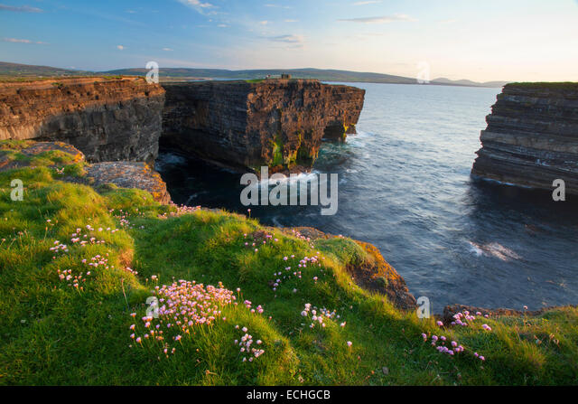Thrift growing on the clifftops, Downpatrick Head, County Mayo, Ireland. - Stock-Bilder