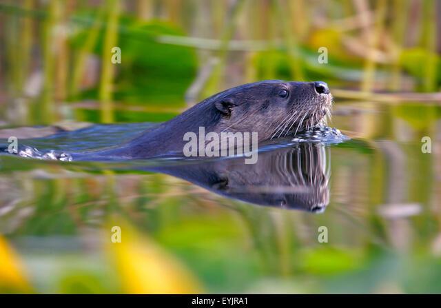 River Otter swimming in lake, closeup - Stock-Bilder