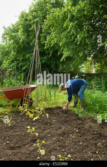 A man in boots digging in the soil in his vegetable garden. Runner beans planted. - Stock Image