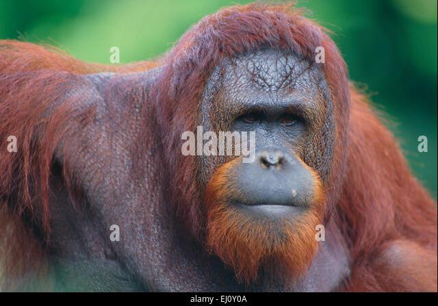 Orang-Utan, Pongo pygmaeus, Hominidae, anthropoid, ape, portrait, mammal, animal, captive, Zoo, Singapore - Stock-Bilder