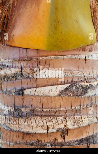 Indian coconut palm tree bark - Stock Image