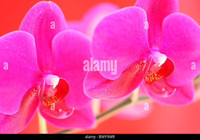 bold pink moth orchid stem Jane-Ann Butler Photography JABP878 - Stock Image