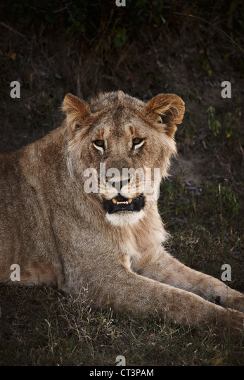 Lion laying in grass - Stock Image