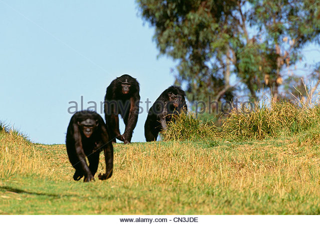 Bonobos, or pygmy chimpanzees, native to Central Africa - Stock-Bilder