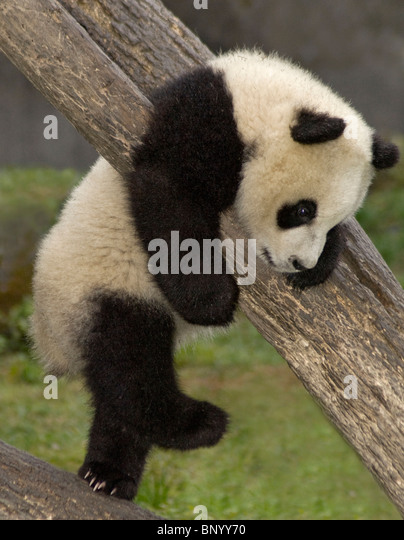 5-month old giant panda cub climbing tree, Wolong, Sichuan Province, China - Stock Image