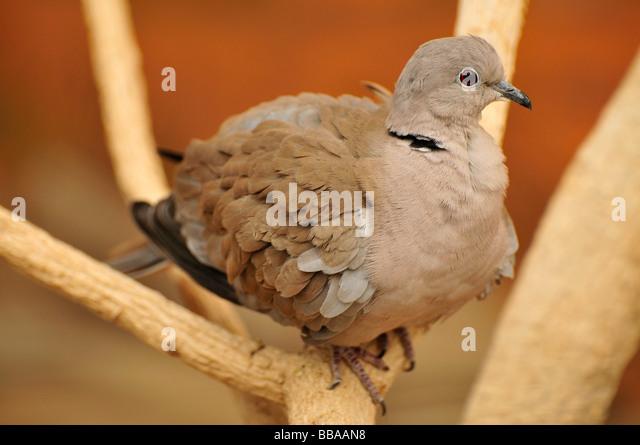 Eurasian Collared Dove (Streptopelia decaocto), in the Al Ain Zoo, Al Ain, Abu Dhabi, United Arab Emirates, Arabia, - Stock Image