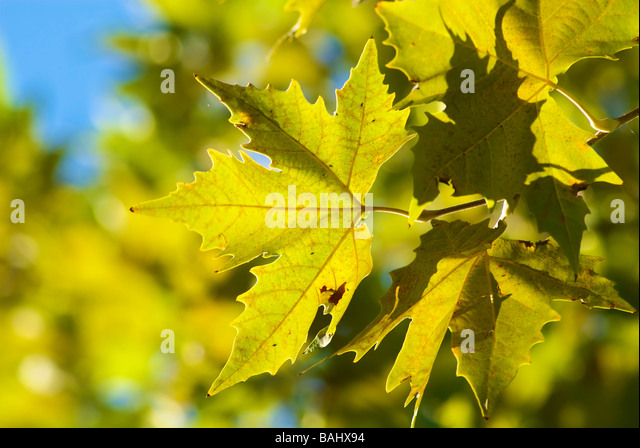 Plane tree leaves in backlight - Stock Image