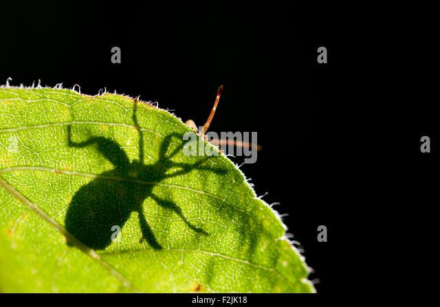 Green Stink Bug or Green Soldier Bug (Chinavia hilaris) - North Carolina Arboretum - Asheville, North Carolina, - Stock Image