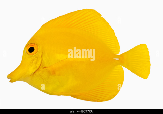 Yellow tang fish Zebrasoma flavescens Also known as Yellow Hawaiian Tang Yellow Sailfin Tang or Yellow Surgeonfish - Stock Image