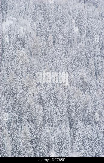 Verschneiter Nadelwald - Stock Image