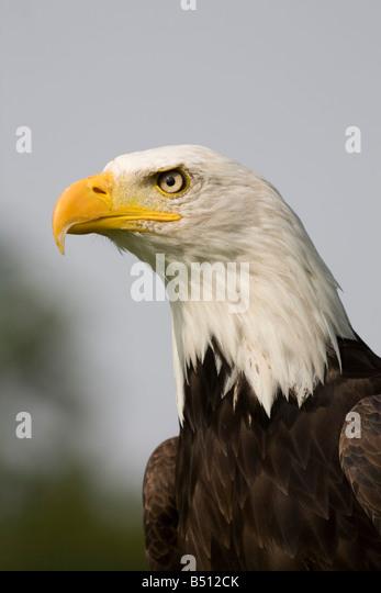 bald eagle Haliaeetus leucocephalus captive bird - Stock-Bilder