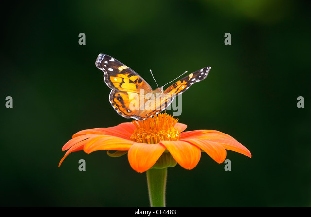 An American Lady butterfly (Vanessa virginiensis) perched on a Mexican Sunflower. - Stock Image