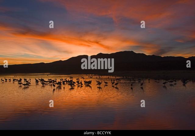 Sandhill Cranes (Grus canadensis) Bosque del Apache; New Mexico - Stock-Bilder