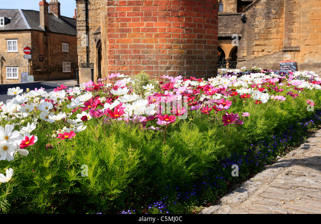 Cosmos flowers called Sensational Mixed used by Sherborne Town Council as part of 'in Bloom' season - Stock Image