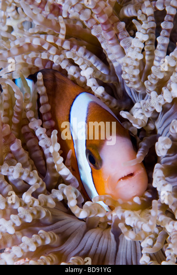 Anemone fish hiding in the sea anemone, Cabilao, Philippines - Stock Image