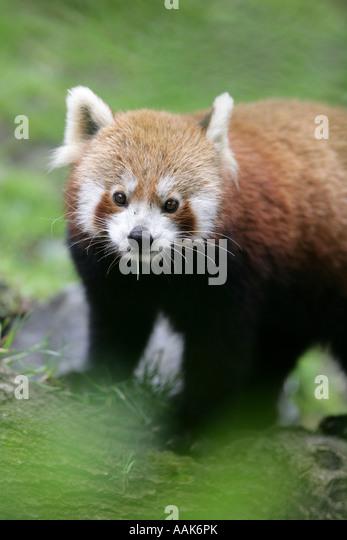 Red Pandas Essay