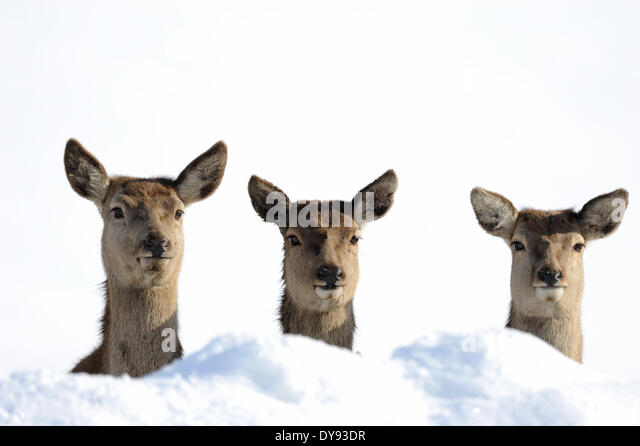 Red deer antlers antler Cervid Cervus elaphus deer stag stags hoofed animals summers velvet autumn snow animal animals - Stock Image
