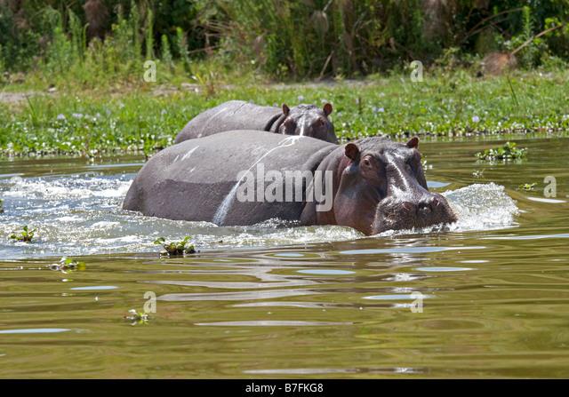 Angry Hippopotamus amphibius Lake Naivasha Kenya - Stock-Bilder