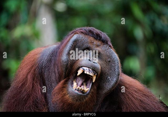 Samson becomes angry. - Stock-Bilder