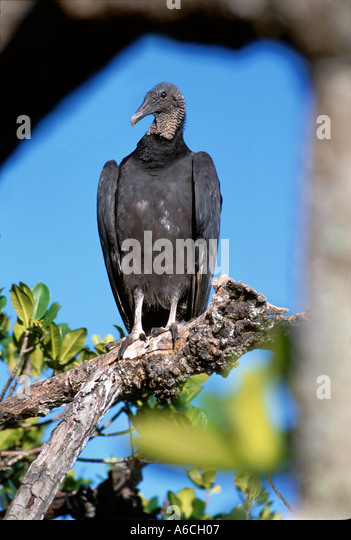 black vulture Coragyps atratus Saint Lucie County PSL N Fork Saint Lucie River - Stock Image