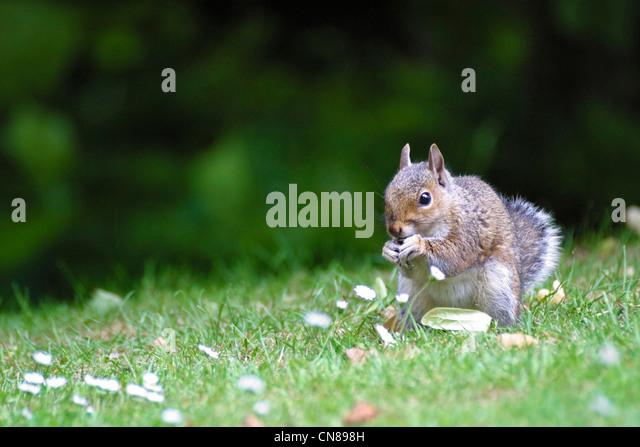 Grey Squirrel eating - Stock Image