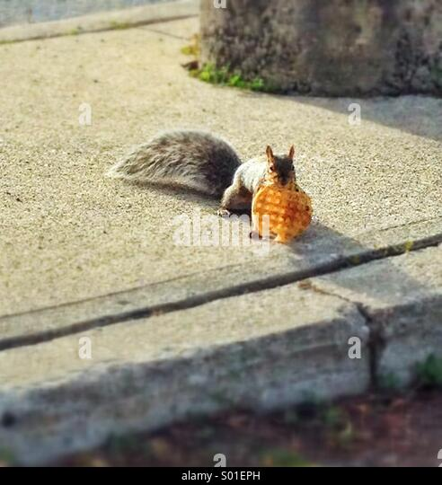 Squirrel having waffle for breakfast - Stock Image